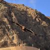European honey buzzard