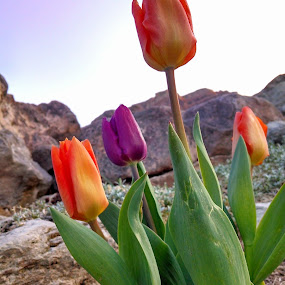 A Tulips Vibrance by Austin Watson - Flowers Flowers in the Wild