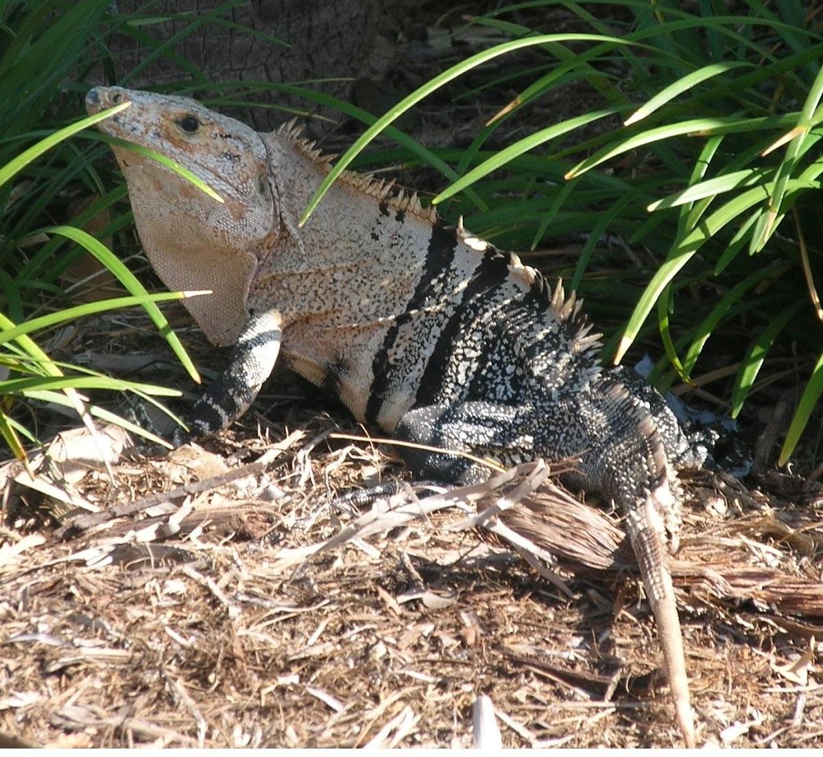 Ctenosaura - Iguana Negra - Mexican Spiny Tailed Iguana