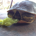 Florida Chicken Turtle