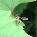 Yellow-shouldered stout hover fly