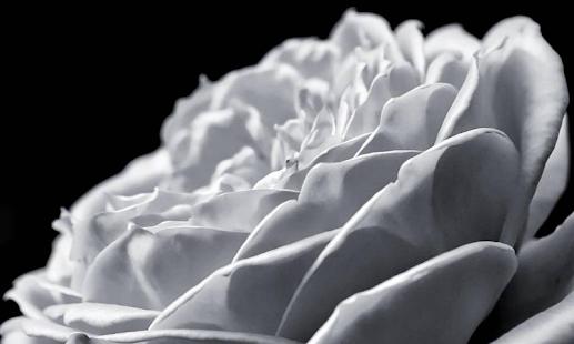 白玫瑰壁紙