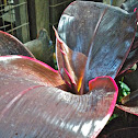 Palm Lily