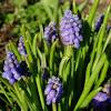 Nazarenos. Grape-hyacinth