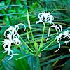 spider lily, Spinnenlillie