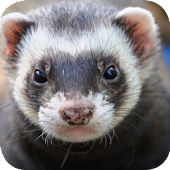 Ferret Wallpapers