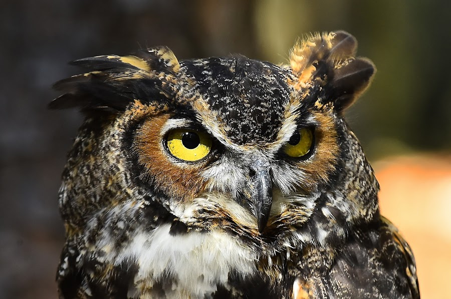 Dudley, Great Horned Owl by Roy Walter - Animals Birds ( captivity, raptor, birds, great horned owl, carolina raptor center, animal )