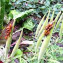 Large Milkweed Bugs(nymphs)