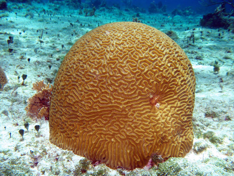 Think! A sighting of brain coral near a reef off Cozumel.