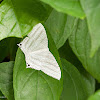 Uraniid moth