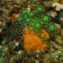 Flower pot coral