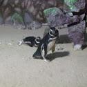 Pinguim-de-Magalhães