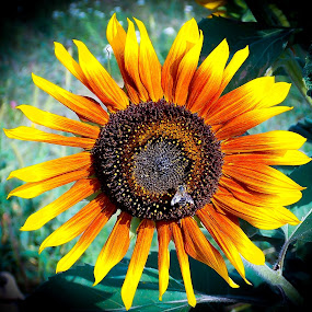 sunflower and a bee by Zeljko Jelavic - Novices Only Flowers & Plants (  )