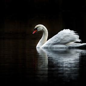 Swan XIII by Zoran Rudec - Animals Birds ( swan, night )