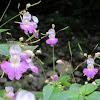 Reuzenbalsemien/ Himalayan Balsam