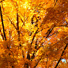 Yellow Maple in Fall