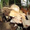 Hedgehog mushroom,Língua de vaca