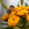 De honingbij (Apis mellifera)