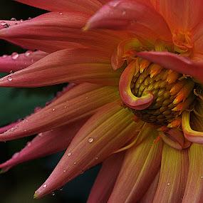 by Steve Wilking - Flowers Single Flower