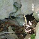 Green-headed Treesnake (Mexican Parrot Snake)