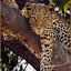 by Richard Wicht - Animals Lions, Tigers & Big Cats ( cats, wild, botswana, wildlife, leapord, africa,  )