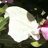 White angled-sulphur