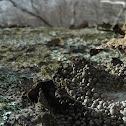 Rock Tripe Lichen