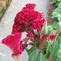 Red Cockscomb