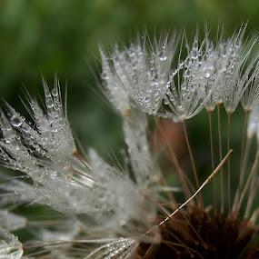 Sjemenke maslačka,jedva čekaju da se posuše i polete. by Katica Pecigoš-Kljuković - Nature Up Close Other plants ( jesenjska rosa, breg )