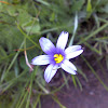 Strict blue-eyed grass