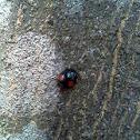 Twice-stabbed ladybeetle