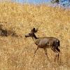 Columbian Black Tailed Deer( Male)