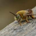 Centris sp bee