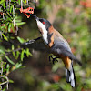 Eastern Spinebill (male)