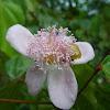 Flor de Urucum