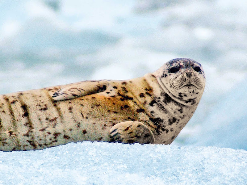 During your Princess Cruises sailing to Alaska, you'll have the chance to see a diverse range of Alaskan wildlife, including the harbor seal.