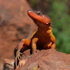 Common Crag Lizard