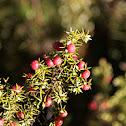 Juniperus /Jeneverbes