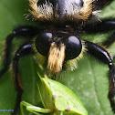 Bee-like Robber Fly