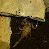 Flinders ranges scorpion