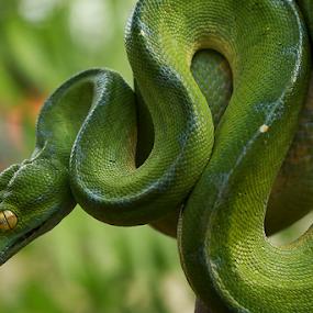 Green tree python by Sugeng Sutanto - Animals Reptiles ( snake, reptiles, animals, reptile, snakes, animal )