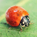 Blood-Red Ladybird Beetle