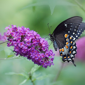 Black Swallowtail by Liz Crono - Animals Insects & Spiders ( butterfly, swallowtail, flower, black )