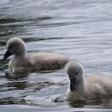 Mute Swan (Cygnets)