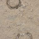 Horse Hoofprint