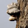 Tinder Fungus, Hoof Fungus, Tinder Conk, Tinder Polypore or Ice Man Fungus