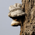 Tinder Fungus, Hoof Fungus, Tinder Conk, Tinder Polypore or Ice Man Fungus