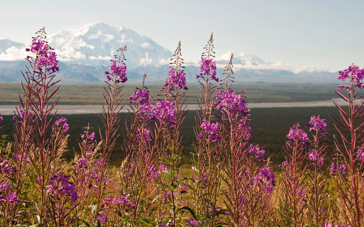 Denali-National-Park-wildflowers - Explore Denali National Park and Preserve — 6 million acres of mountains, wildlife and pristine landscapes bisected by one ribbon of road — during your Princess Cruises voyage.
