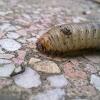 Cockchafer larvae (White grubs)