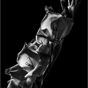 Gladioli by Dave Angood - Flowers Flower Arangements ( backlit, gladioli, stamen, flowers, flower )